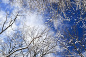 Winter trees and blue sky — Stock Photo