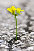 Flower growing from crack in asphalt — Stock Photo