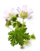 Wildflower on white background — Stock Photo
