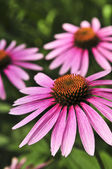 Echinacea purpurea plant — Stock Photo