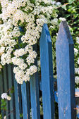 Blue fence with white flowers — Stock Photo