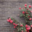rosas en pared de ladrillo — Foto de Stock   #4635457