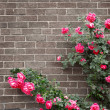 Roses on brick wall - Stock Photo