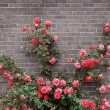 rosas en pared de ladrillo — Foto de Stock   #4635472