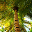 Palm tree canopies in tropical forest — Stock Photo #4636174