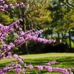 Цветущая вишня в парке весной — Стоковое фото