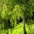 Green birch tree — Stock Photo