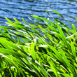 Reeds at water edge - Stock Photo