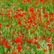 Poppies in rye - Stock Photo