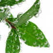 Green leaves in water — Stock Photo