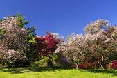 Kwitnące drzewa owocowe w parku — Zdjęcie stockowe