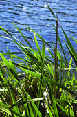 Reeds at water edge — Stock Photo