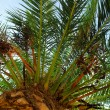 Palm tree canopy — Stock Photo #4641924