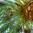 Palm tree canopy — Stock Photo