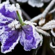 Frosty flower in late fall — Stock Photo