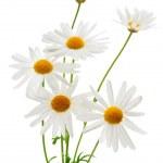 Daisies on white background — Stock Photo