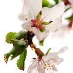 Pink cherry blossom — Stock Photo #4642265