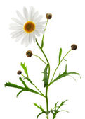 Daisy on white background — Stock Photo