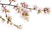 Fiori di ciliegio — Foto Stock