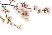 Růžový třešňový květ — Stock fotografie