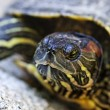 Red eared slider turtle - Stock Photo