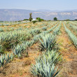 Agave cactus field in Mexico — Stock Photo #4719564