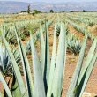 Agave cactus field in Mexico — Stock Photo #4719565