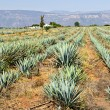 Agave cactus field in Mexico - Stock Photo