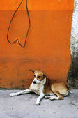 Dog near colorful wall in Mexican village — Foto Stock