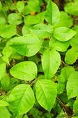 Poison Ivy — Stockfoto