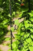 Vine on wrought iron arbor — Stock Photo