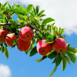 Stock Photo: Apples on a branch