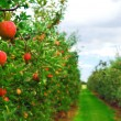 Apple orchard — Stock Photo #4824227