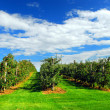 Apple orchard — Foto de Stock