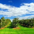 Apple orchard — Stockfoto
