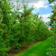 Foto Stock: Apple orchard