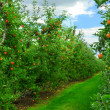 Foto de Stock  : Apple orchard