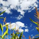 Corn field — Stock Photo #4824332