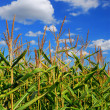 Corn field — Stock Photo #4824336