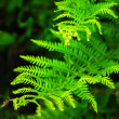 Fern — Stock Photo #4824364