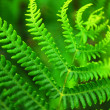 Fern leaf - Photo