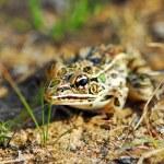Frog — Stock Photo #4824427