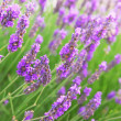 Lavender — Stock Photo #4824501