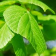 Green leaves — Stock Photo #4824514