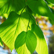 Green leaves — Stock Photo #4824516