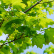 Green leaves — Stock Photo #4824518
