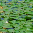 Water lilies — Stock Photo