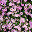 Petunia wall — Stock Photo