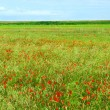 Poppy field — Stockfoto #4824671