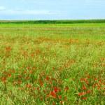 Маковое поле — Стоковое фото